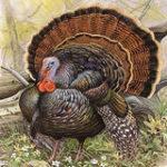 Free Turkey Calls
